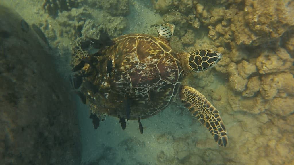 turtles haleiwa
